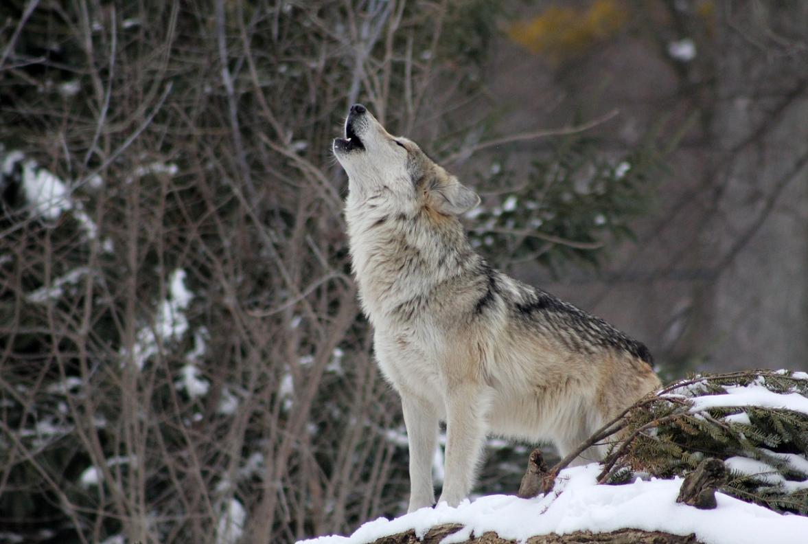 Curiosità sul lupo