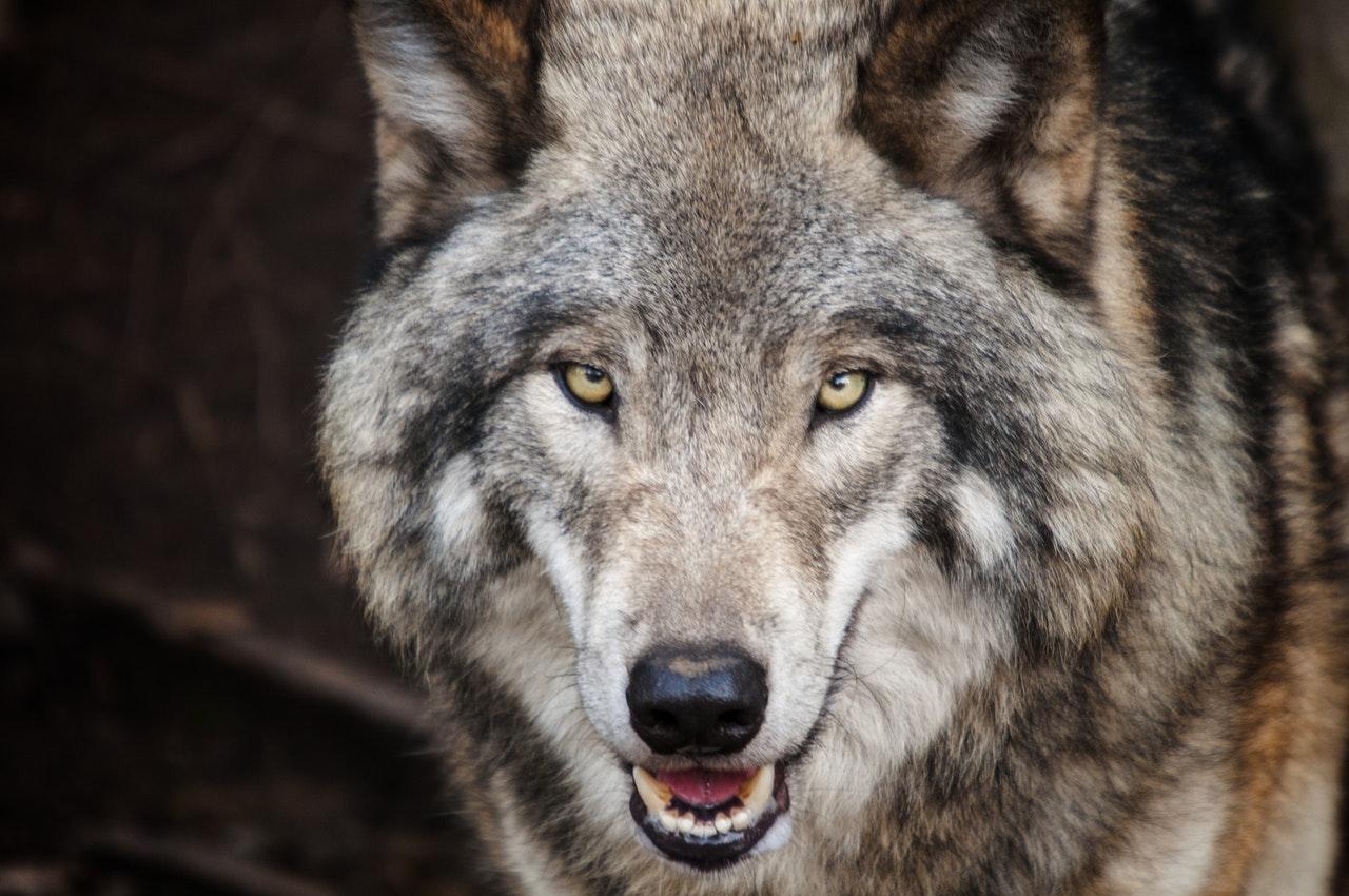 Storia di una creatura che ha rischiato l'estinzione, anche per colpa di Cappuccetto Rosso